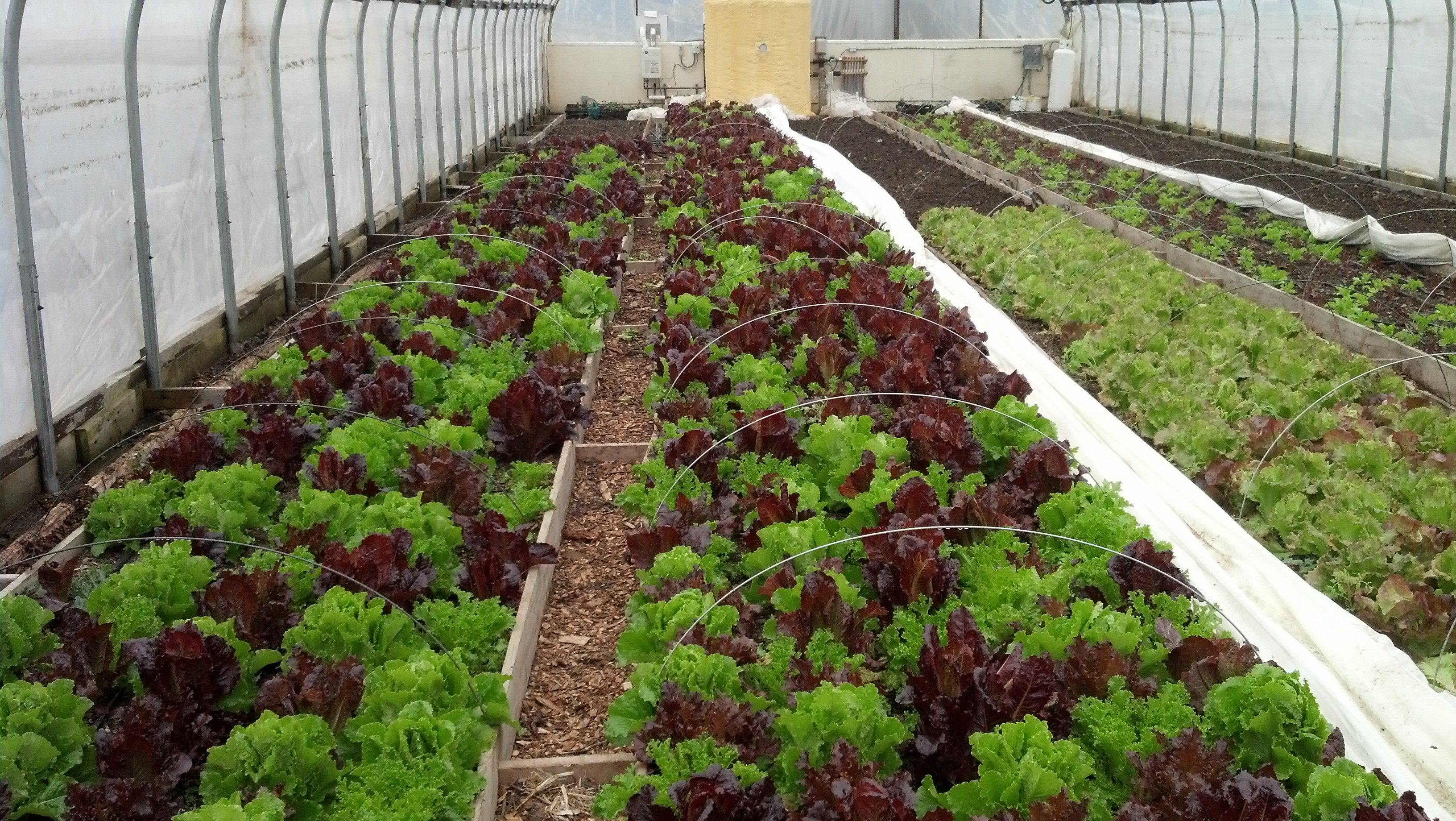 Greenhouse Lettuce Grown Without Fertilizer, Compost ONLY