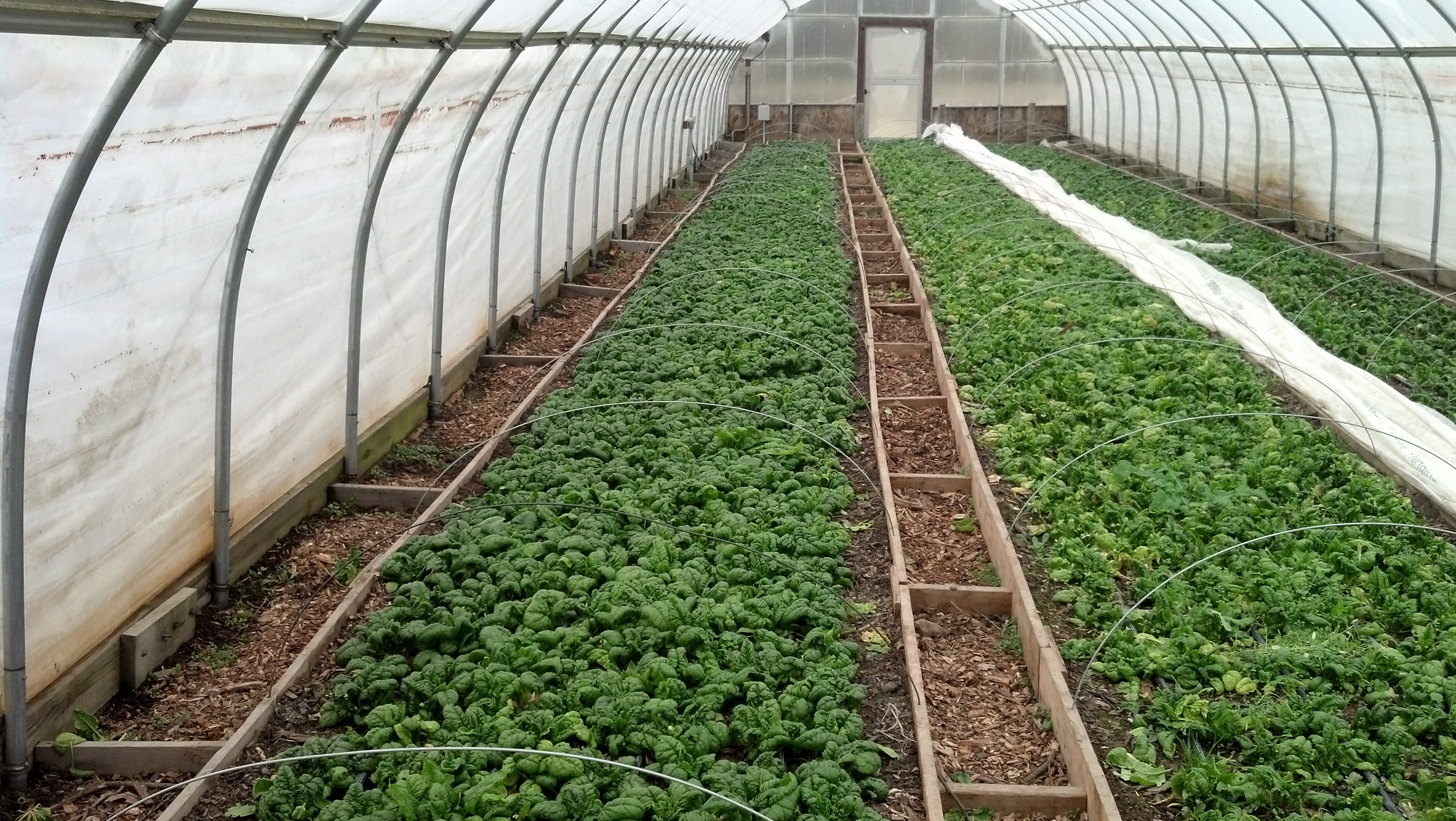 Greenhouse Spinach Grown Without Fertilizer